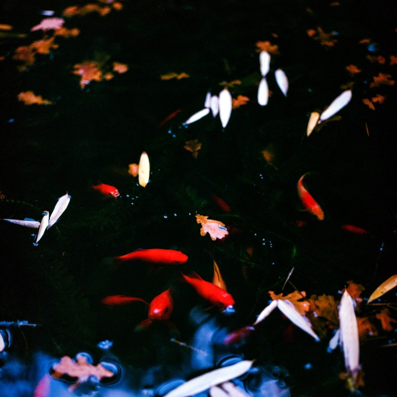 Red fishes in the pond